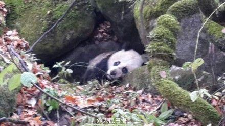 Giant Panda Seeking Help From Human